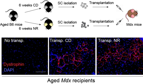 Muscle stem cells from NR treated mice have better transplantation efficiency