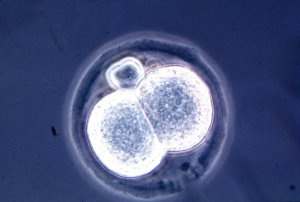 embryon cloné